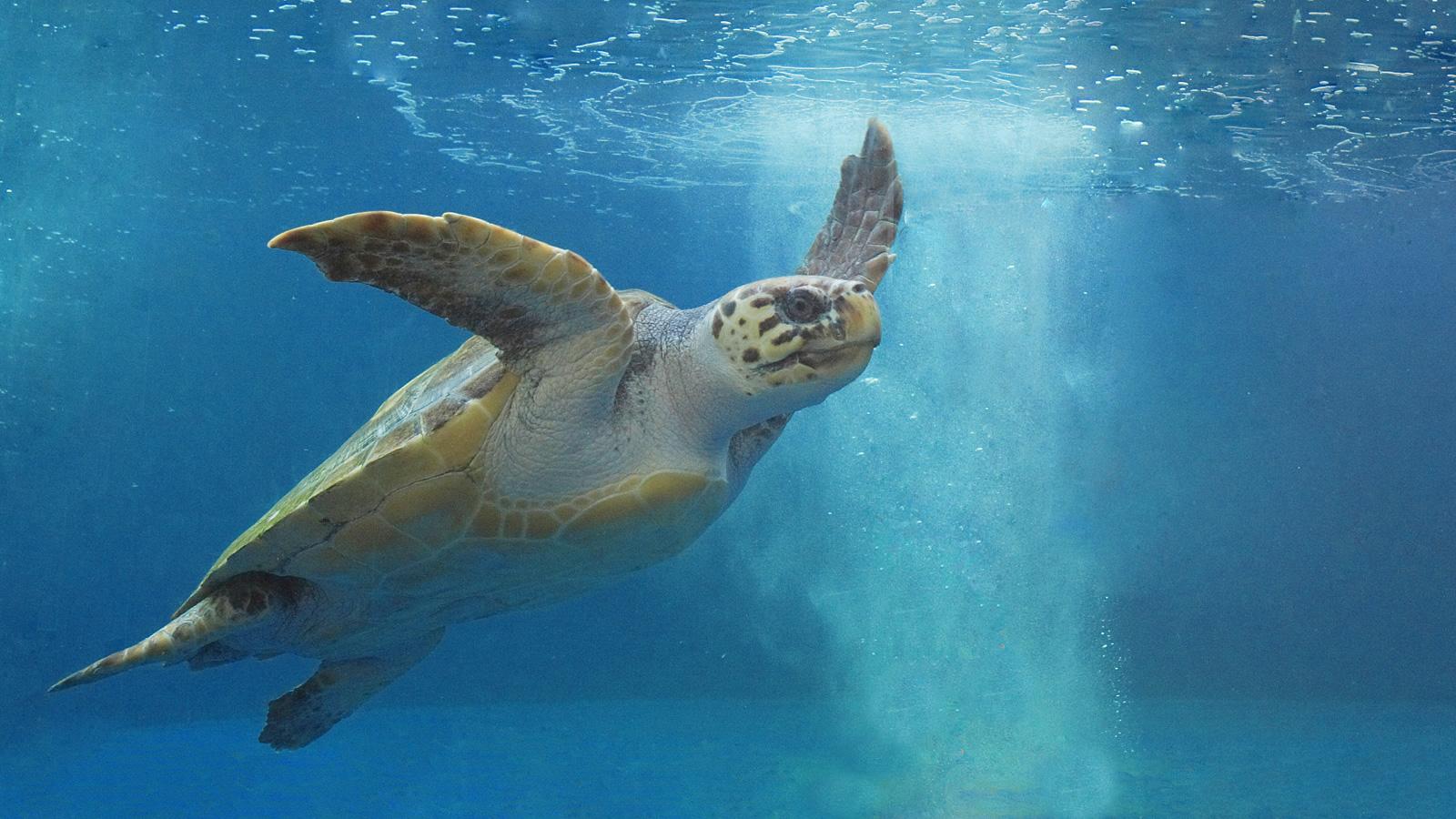 泳ぐウミガメの写真