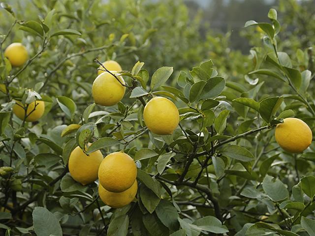 木に生ったマイヤーレモンの写真